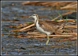 Non-breeding Pheasant-tailed Jacana from Thailand. Photo Credit: Daniel Koh