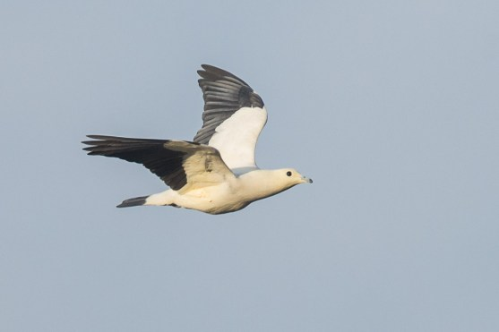 Pied Imperial Pigeon at Japanese Garden. Photo credit: Francis Yap