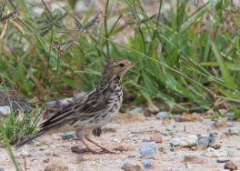 Red-throated Pipit at Punggol Barat. Photo credit: See Toh Yew Wai