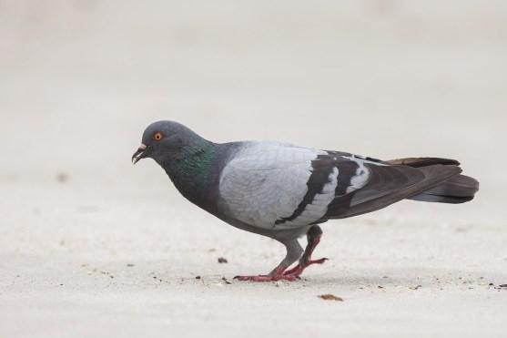 Rock Dove at Punggol End. Photo Credit: Francis Yap