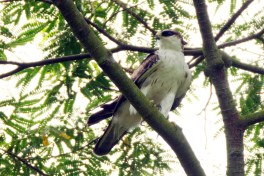 Juvenile Rufous-bellied Eagle at Bidadari. Photo Credit: Alan Ng