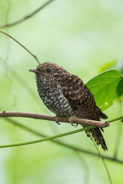 Juvenile Rusty-breasted Cuckoo at Lorong Halus. Photo Credit: Francis Yap
