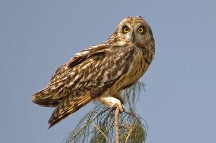 Short-eared Owl at Changi Cove. Photo Credit: Eric Tan