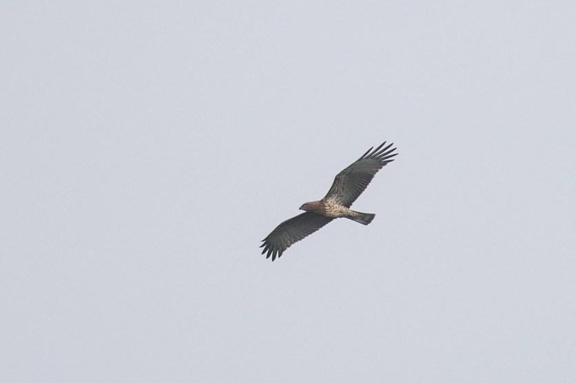Short-toed Snake Eagle (dark morph) at Jelutong Tower. Photo Credit: Francis Yap