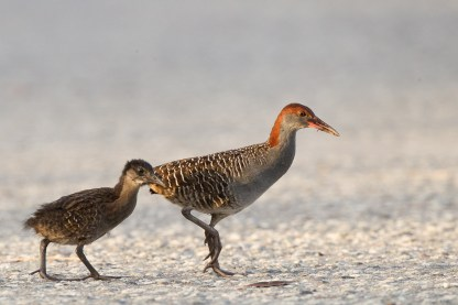 Adult and chick Slaty-breasted Rail at Lorong Halus. Photo Credit: Francis Yap