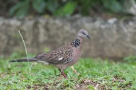 Spotted Dove at Lorong Halus. Photo Credit: Francis Yap