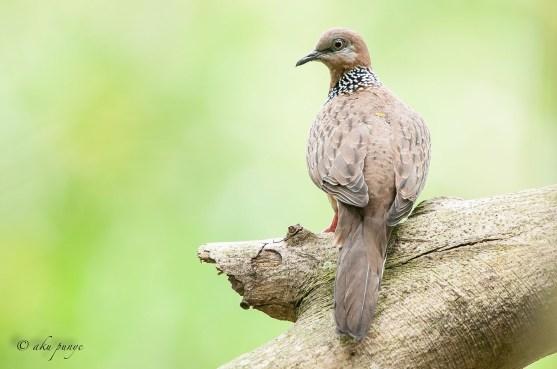 Spotted Dove. Photo Credit: Zahidi Hamid