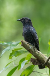 Juvenile Square-tailed Drongo-Cuckoo at Bidadari. Photo Credit: Francis Yap