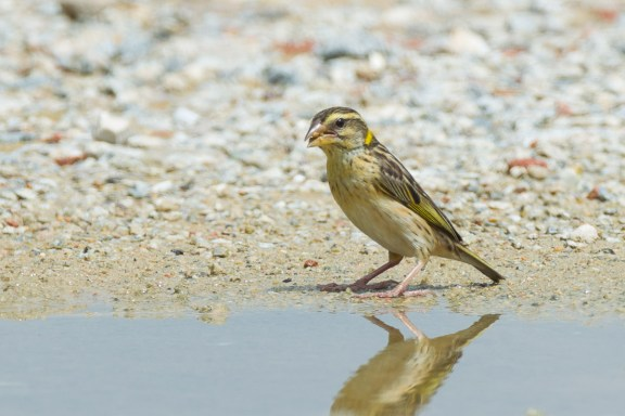 Female or non-breeding male Streaked Weaver at Lorong Halus. Photo Credit: Francis Yap