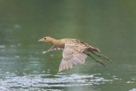 Female Watercock at SBG. Photo Credit: Francis Yap