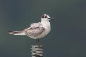 First winter Whiskered Tern at Kranji Marsh. Photo Credit: Francis Yap