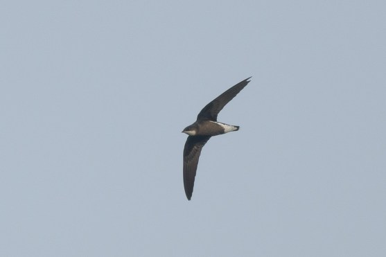 White-throated Needletail at Jelutong Tower. Photo credit: Francis Yap