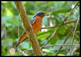 Male White-throated Rock Thrush from Thailand. Photo Credit: Daniel Koh