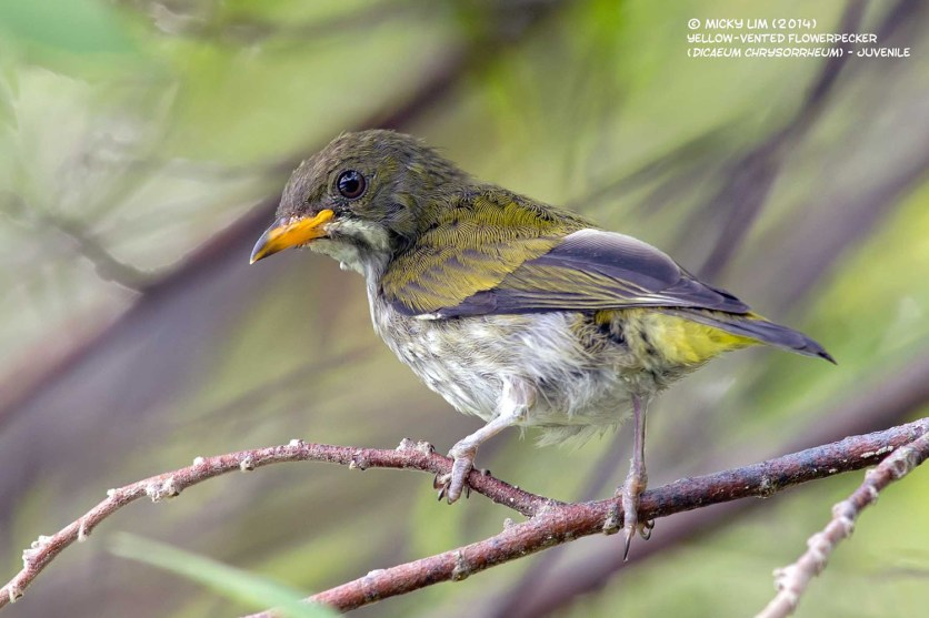 Yellow-vented Flowerpecker (juvenile) from Southern Thailand. Photo credit: Micky Lim
