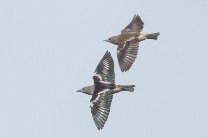 Daurian Starling at Kranji Marsh. Photo credit: Francis Yap