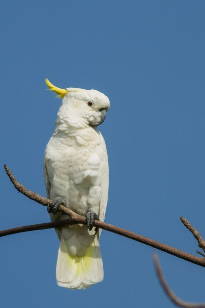 Yellow-crested Cockatoo at West Coast Park. Photo credit: Francis Yap