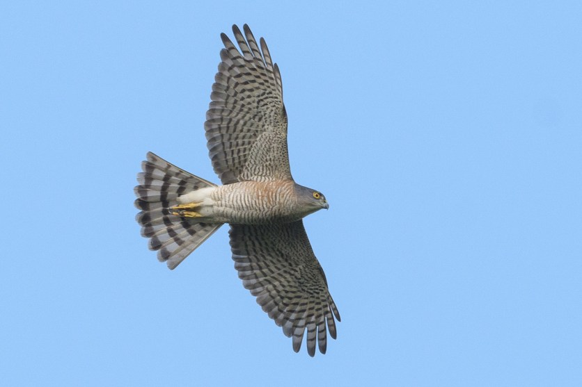 Female Japanese Sparrowhawk at Jelutong Tower. Photo credit: Francis Yap
