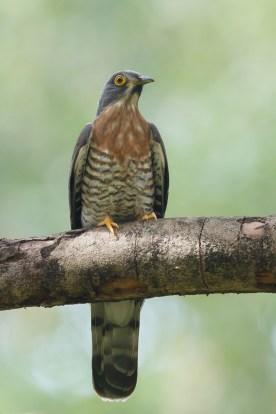 Large Hawk-Cuckoo at Bidadari. Photo credit: Francis Yap