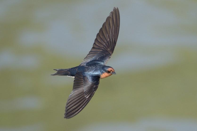Pacific Swallow at Chek Jawa. Photo credit: Francis Yap