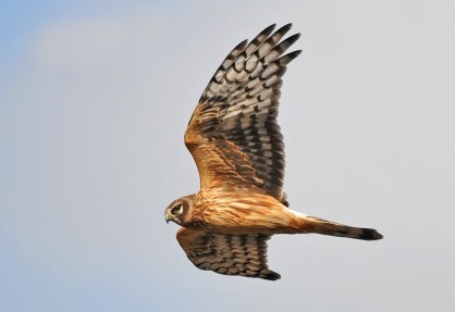 Juvenile Hen Harrier at Wick Quarry South Gloucestershire, UK. Photo Credit: Pete Blanchard