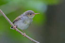 Common Tailorbird. Photo credit: Adrian Silas Tay