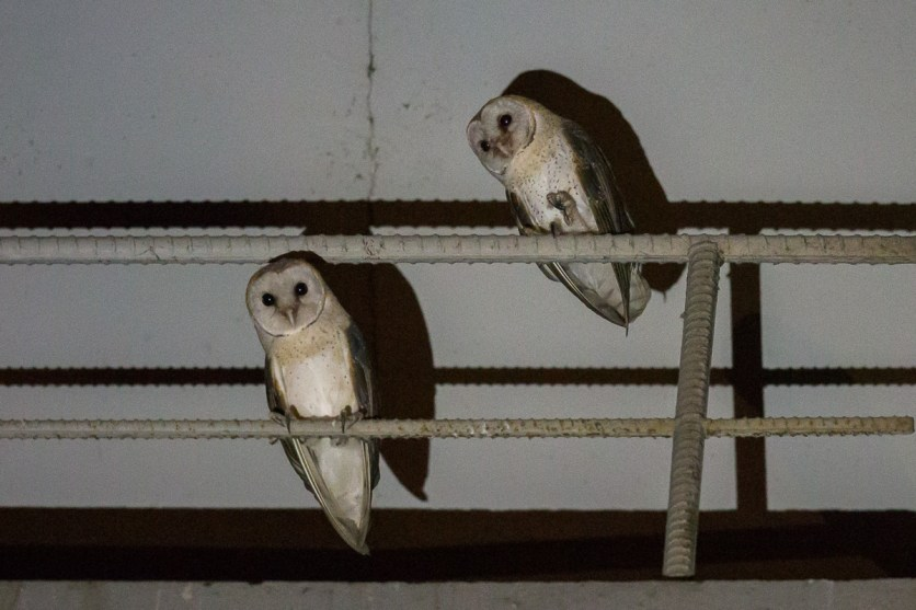 Eastern Barn Owl in Singapore. Photo credit: Francis Yap