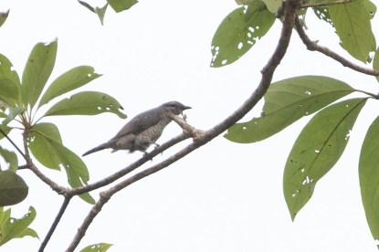Lesser Cuckooshrike at Lenggor, Malaysia. Photo credit: Keita Sin