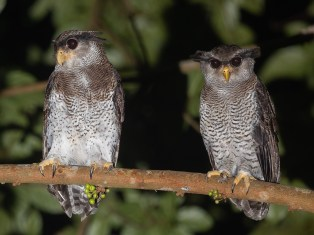 Adult female (L) and male (R) Barred Eagle-Owl at Fuyong Estate