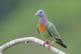 Pink-necked Green Pigeon at Jelutong Tower. Photo credit: Francis Yap