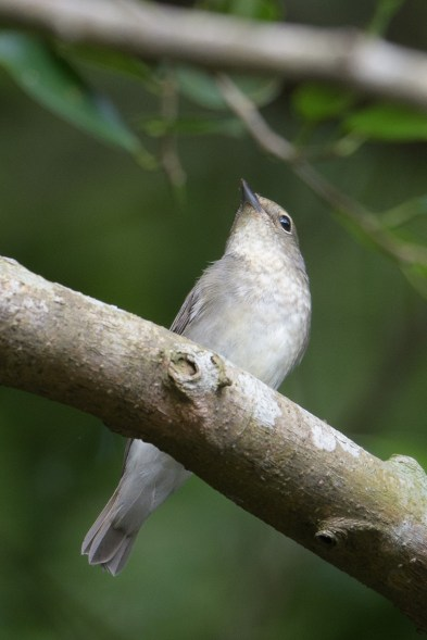 Narcissus Flycatcher at Dairy Farm Nature Park. Photo credit: Francis Yap