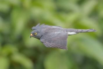 Chinese Sparrowhawk at Henderson Waves. Photo credit: Francis Yap