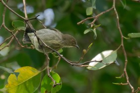 Thick-billed Flowerpecker at Dairy Farm Nature Park. Photo credit: Francis Yap
