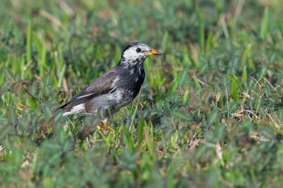 White-cheeked Starling at Picadilly, Seletar. Photo credit: Adrian Silas Tay
