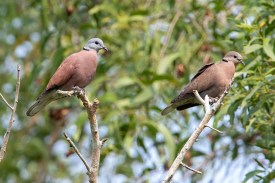 Red Collared Dove at Neo Tiew.. Photo credit: Adrian Silas Tay