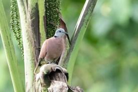 Red Collared Dove at Kranji Marshes. Photo credit: Keita Sin