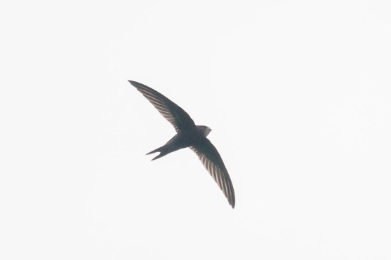 Common Swift at Jelutong Tower. Photo credit: Francis Yap
