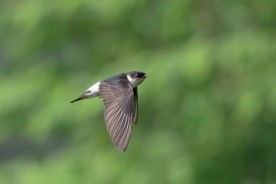 Asian House Martin at Neo Tiew Harvest Lane. Photo credit: Francis Yap