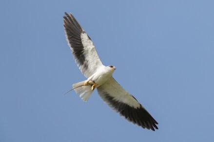 Black-winged Kite at Seletar Aerospace Crescent. Photo credit: Francis Yap