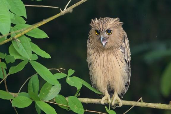 Buffy Fish Owl at Sungei Buloh Wetland Reserve. Photo credit: Francis Yap