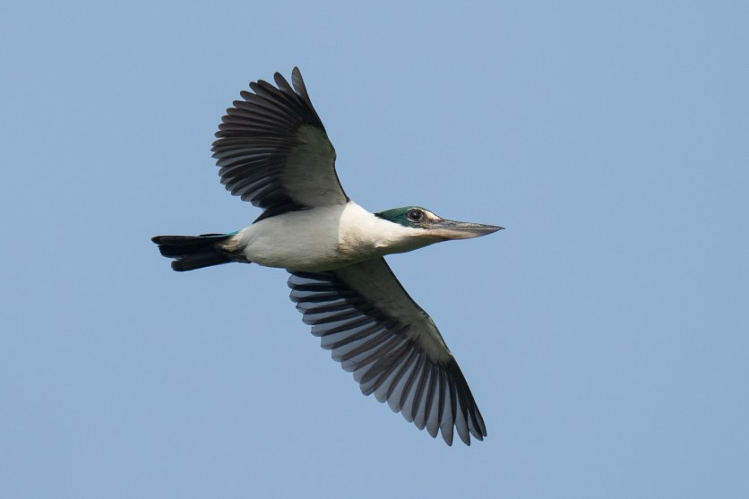 Collared Kingfisher at Sungei Buloh Wetland Reserve. Photo credit: Francis Yap