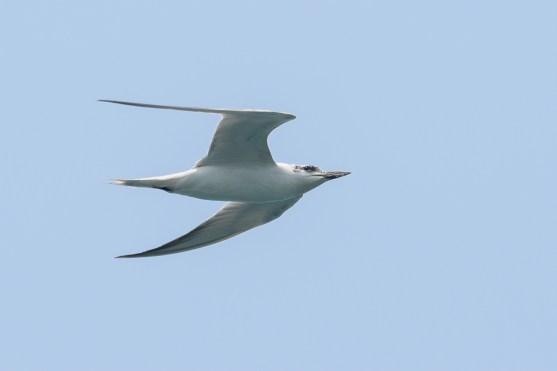 Gull-billed Tern at Sentosa Cove. Photo credit: Francis Yap