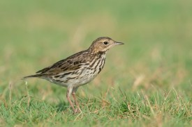 Red-throated Pipit at Turut Track. Photo credit: Francis Yap