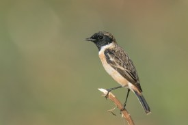 Stejneger's Stonechat at Turut Track. Photo credit: Francis Yap