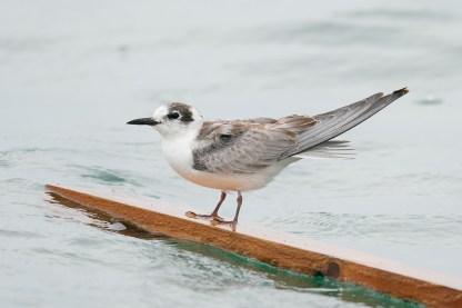 White-winged Tern at Singapore Strait. Photo credit: Francis Yap