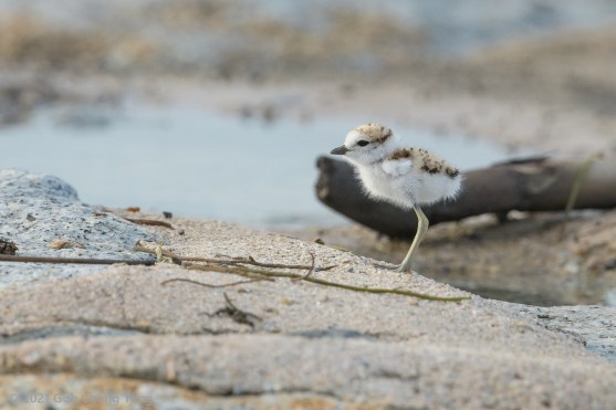 Malayian Plover chick. 27 June 2021