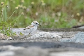 Malaysian Plover chick. 11 July 2021