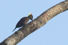 Crimson-winged Woodpecker_170409_KeitaSin