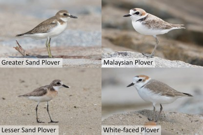 Lesser Sand, Greater Sand, Malaysian and White-faced Plover. Sizes are also not to scale, but Lesser and Greater Sand Plovers are bigger than Javan Plovers, while Kentish and White-faced Plovers have comparable sizes. Photo credit: Greater Sand Plover and White-faced Plover, Goh Cheng Teng. Lesser Sand Plover and Malaysian Plover, Keita Sin