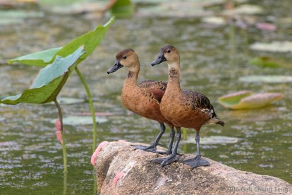Wandering Whistling Duck, Singapore. One of the last few birds from the introduced population. Photo credit: Goh Cheng Teng