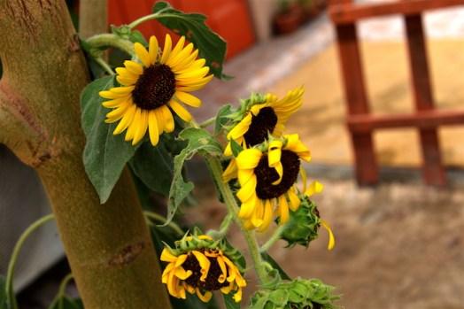 Sunflower Bahrain